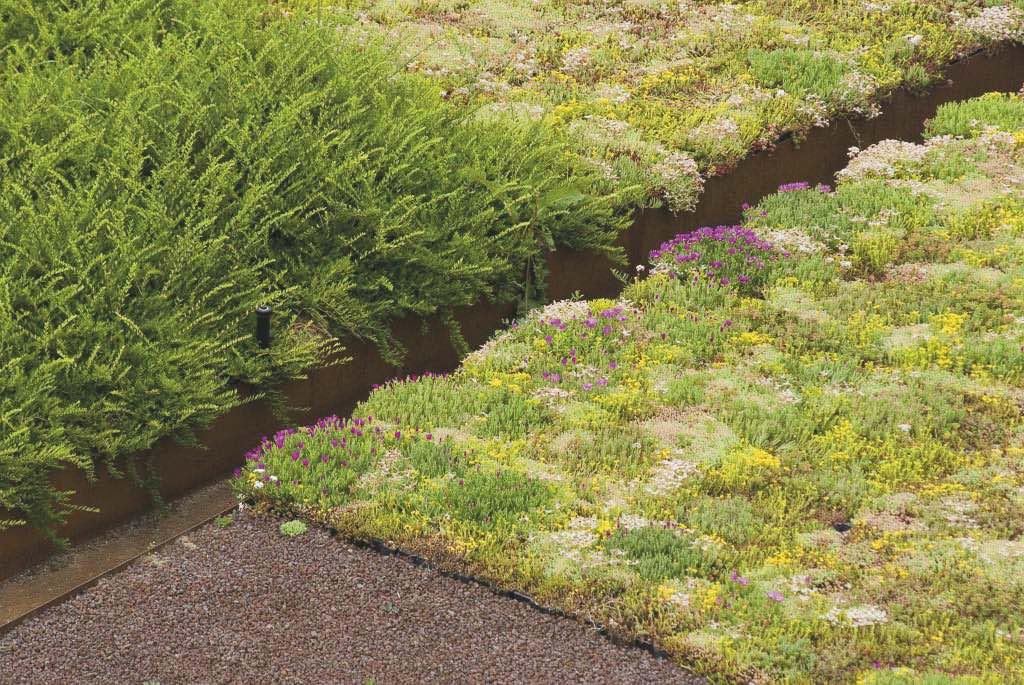 Vegetazione tappezzante a sedum per la copertura dell'area verde della rotatoria.